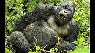 Что используют в африке для ловли горилл пиво или сахар