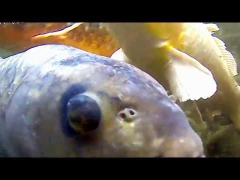 錦鯉&ドイツ鯉の群集(水中映像) Nishikigoi & German carp crowd (underwater picture