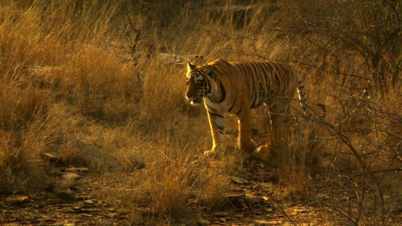 Indien: Tiger (0:52)