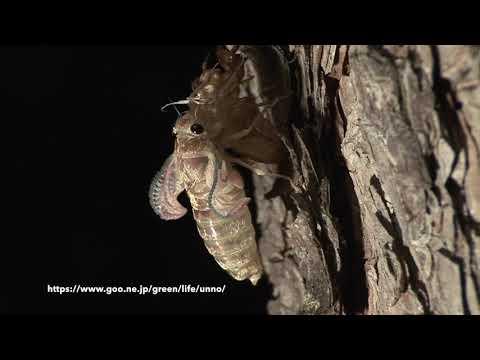 ハルゼミ(春蟬)の羽化 Terpnosia vacua