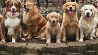 KeenDog Golden Retriever Puppy Training: What To Expect