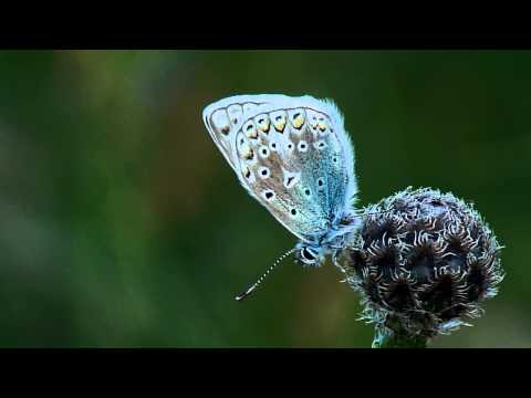 Common Blue Roosting