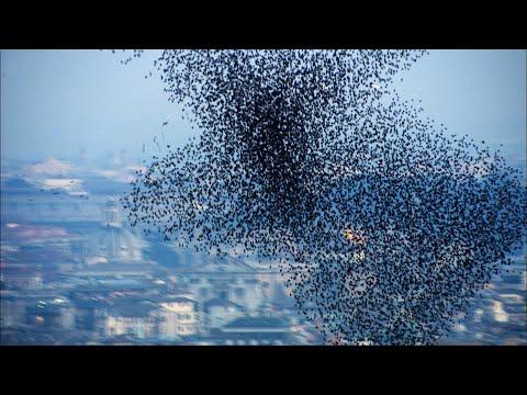 Tien miljoen spreeuwenzwerm (7 ton vogelpoep)