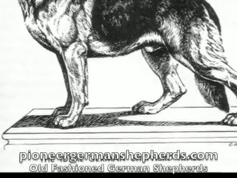 Preview video Old Fashioned German Shepherds - Old Style German Shepherds