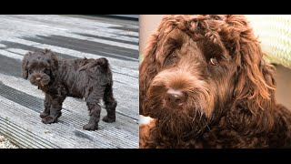 Labradoodle Puppy From 10Wks Old To 1 Year Old