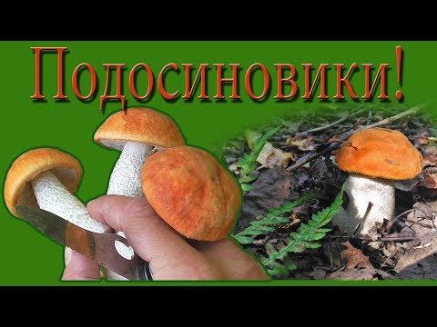 Сбор грибов. Подосиновики. Грибы в Подмосковье!