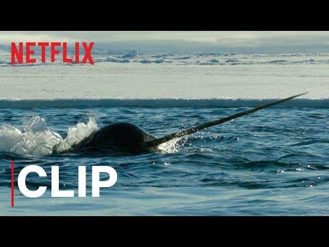 Video trailer för Our Planet | Narwhals | Clip | Netflix
