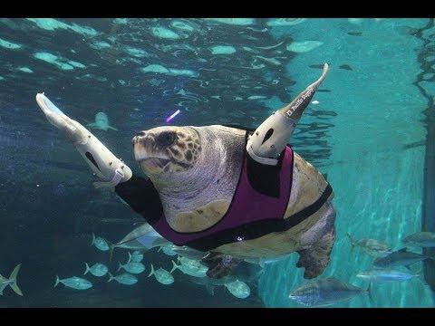 人工ひれをつけたウミガメの悠ちゃん