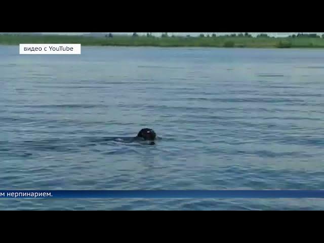 Байкальская нерпа переселилась в Ангару