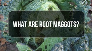 What are Root Maggots