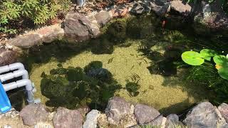 ビオトープ庭の池タナゴ、あゆ、本モロコ、メダカなど