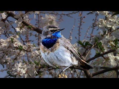 🐦Пение птиц - звуки, которые лечат. Послушайте! Relaxing Nature Sounds- Birds Chirping