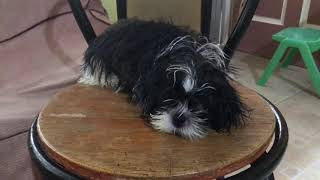 Shih tzu puppy- Natural home remedy for dogs dandruff