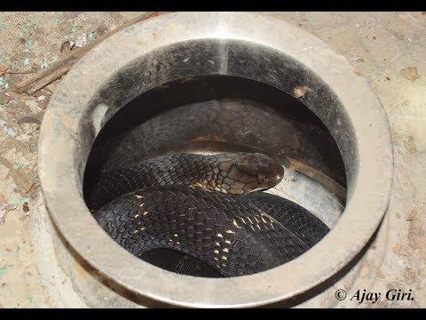 King cobra rescue operation - Mangadde, Koppa, Chikkamagaluru, KA