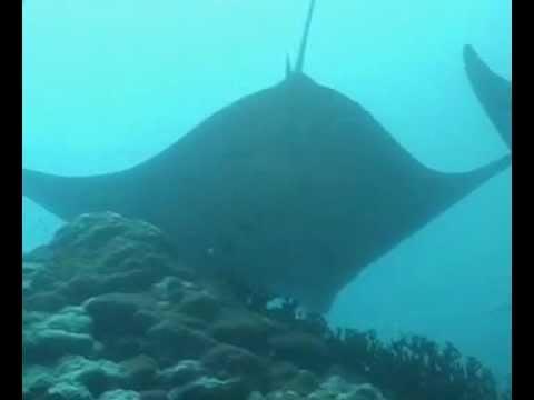 Mantas und Haie, Palau und Yap allgemein,Palau