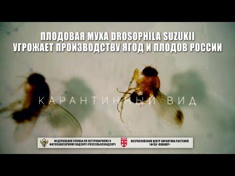 Плодовая муха Drosophila suzukii угрожает производству ягод и плодов России