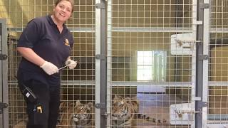 Tiger Update with Keeper Amy (25th April 2020)