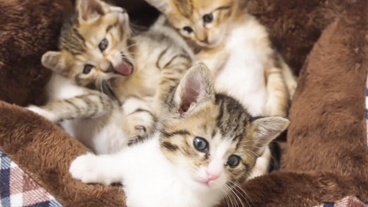 「もう無理」と狭いベッドから逃げ出す子猫と残る子猫。【赤ちゃん猫】【保護子猫】