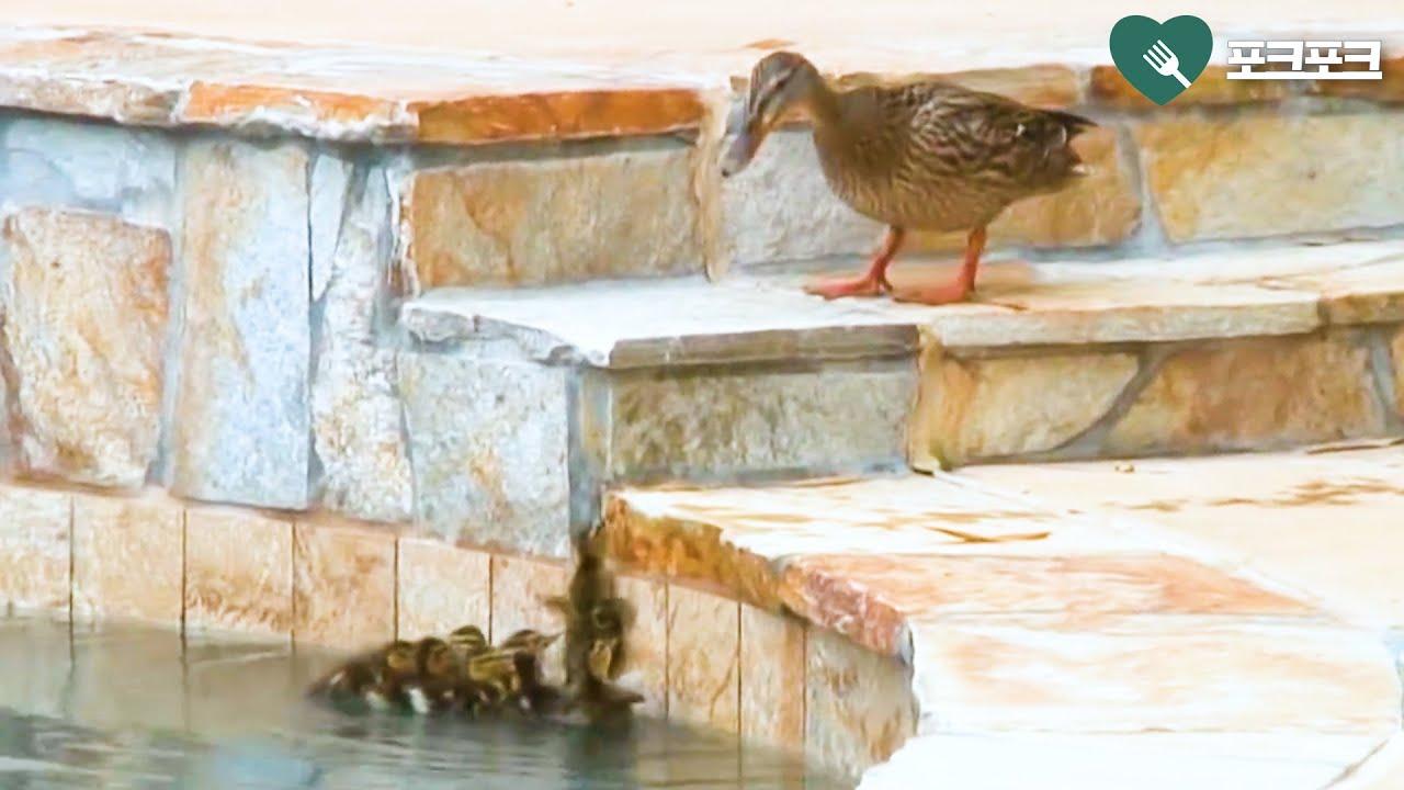 수영장에 빠진 오리새끼들 보고 어미반응