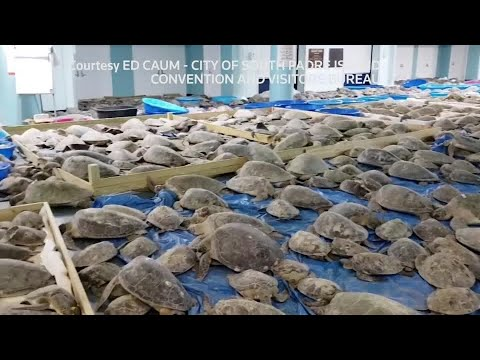Thousands of 'cold-stunned' sea turtles rescued off coast of Texas