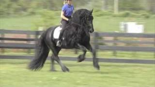 FRIESIAN STALLION Leave You Breathless