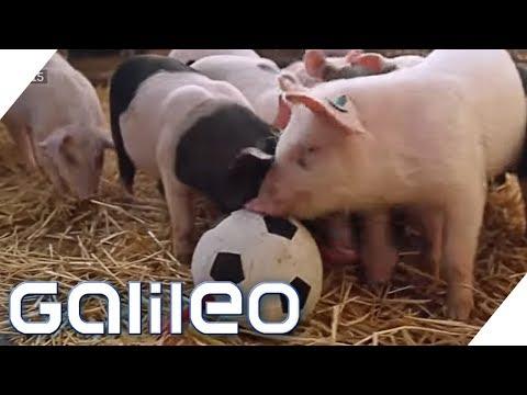 , title : 'Hier leben die glücklichsten Schweine Deutschlands | Galileo | ProSieben
