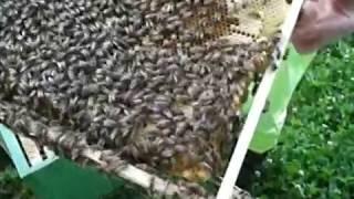 Пчеловодство. Пчёлы не приняли, «порвали» вощину