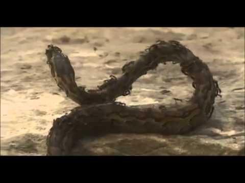 Serpiente vs Hormigas Subhana'Llah Snake vs Ants Subhana'Llah