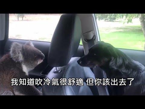 澳洲男子的車被無尾熊闖入,無尾熊在車內爽吹冷氣不肯離開