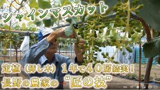 「シャインマスカット」 定植1年で40房結実 長野の農家