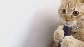 Коты играют, нападают, катаются но только не боятся пылесосов. Смотреть - Смешно!