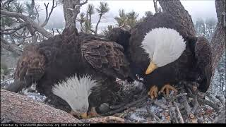 3-8-19 Big Bear Eagles~  Shadow And Mom Squabble Over Dinner!