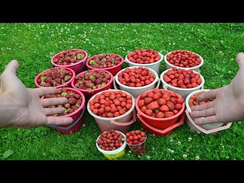 Сколько можно заработать выращивая клубнику
