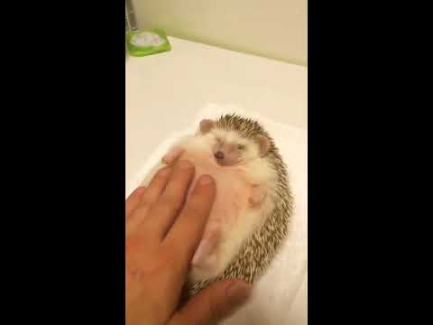 A hedgehog has its belly rubbed as a smooth jazz version of Green Hill Zone from Sonic The Hedgehog plays.