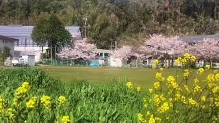 【沖島 もんて便り番外編】沖島の桜