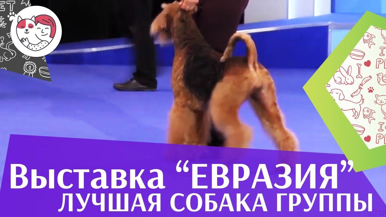 Лучшая собака 3 группы по классификации FCI 18 марта на Евразии 17 ilikepet