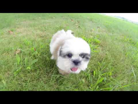 Dean the Shichon puppy