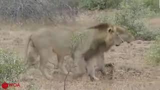 Simba Abanwa Na Mbogo