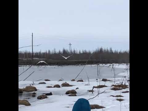 В Белую Гору прилетели тундровые лебеди