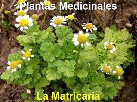 Plantas Medicinales - La Matricaria