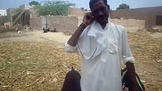 sahiwal beetal goat grazing in the field in pakpattan - best