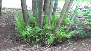 Você sabia ? # 58 - A Areca-bambu