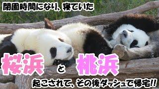 閉園時間、寝ていたパンダの桜浜&桃浜起こされて、その後ダッシュで帰宅♪ Giant Panda Ouhin & Touhin, Go home with a dash♪