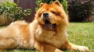 Saindo de casa com Chow chow - Cão bravo solto na rua - Dia de chuva