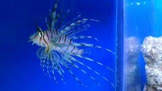 preview picture of video 'lion fish in marine aquarium'