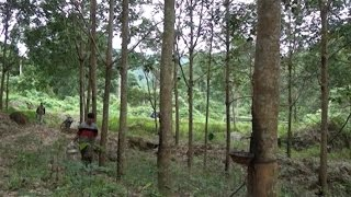 Phú Yên: Giá mủ cao su tăng trở lại, nông dân phấn khởi thu hoạch