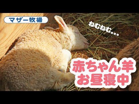 赤ちゃん羊お昼寝中♥