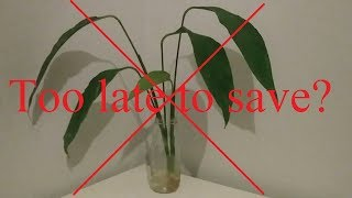 When is it too late to save Peace Lily? (Spathiphyllum)