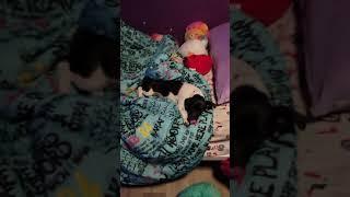 Rat Terrier Puppies Videos