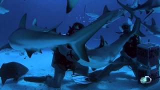 Reef Shark Tonic Immobility | Zombie Sharks